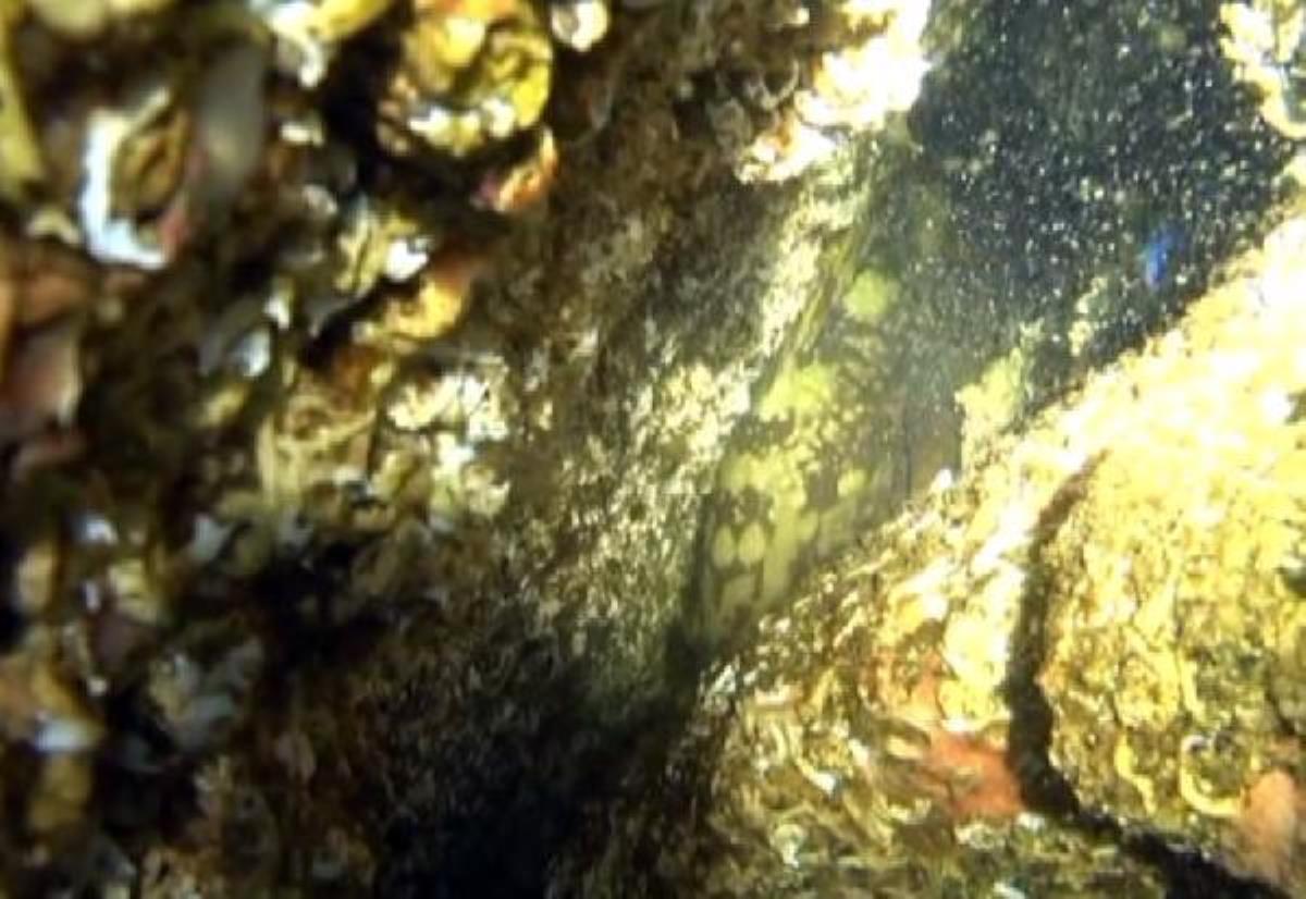 Marmara'da yıllar sonra orfoz balığı kayıt altına alındı