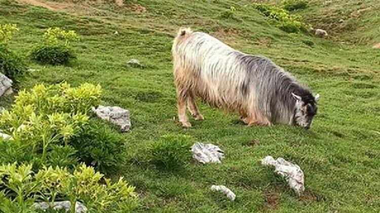 Ahırdan kaçan kurbanlık keçi, 5 gün sonra otlanırken bulundu