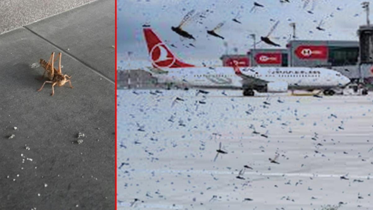 Binlerce çekirge İstanbul Havalimanı'nı istila etti! Uçaklar pisti pas geçmek zorunda kaldı