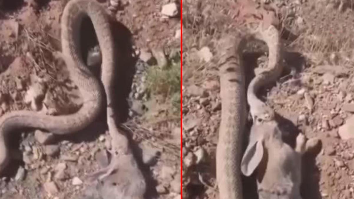 Çıngıraklı engerek yılanı tavşanı böyle avladı