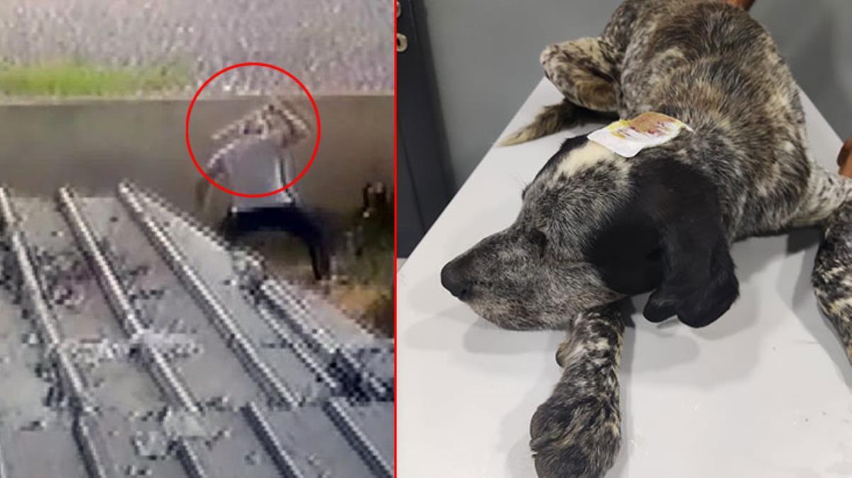 Civcivlerini kovaladığı gerekçesiyle sokak köpeği Duman'ı sopayla öldüresiye dövdü! İnsanlık dışı olay kamerada