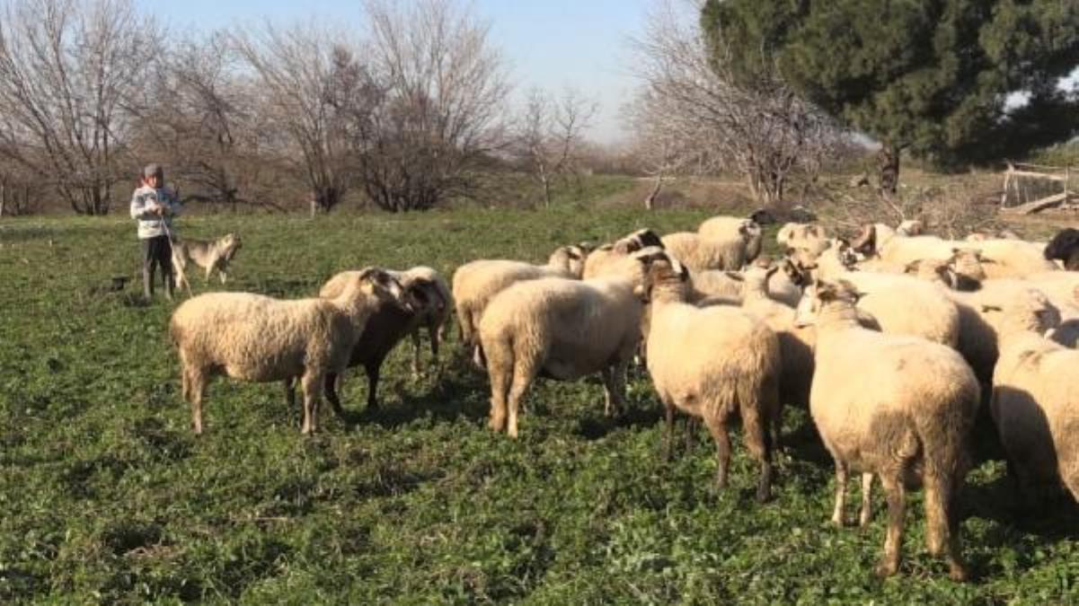 Hem okuyup hem çobanlık yapan Şevki, sosyal medya fenomeni oldu