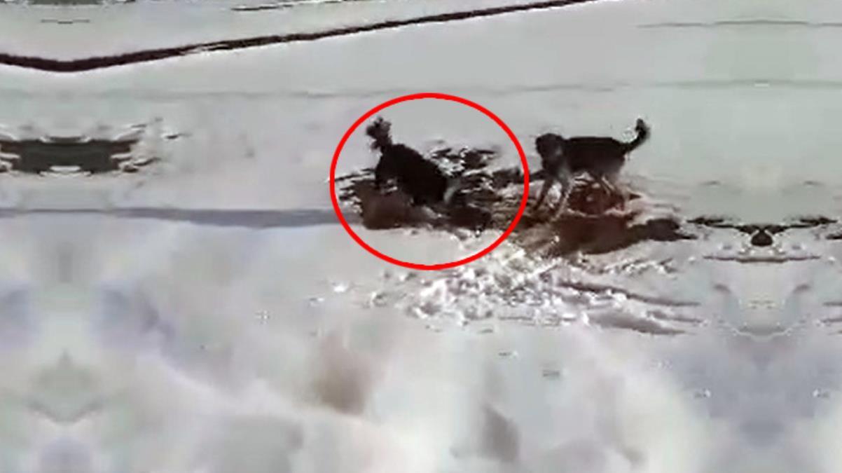 Köpeklerin parçalamaya çalıştığı su samurunu yoldan geçen vatandaş kurtardı
