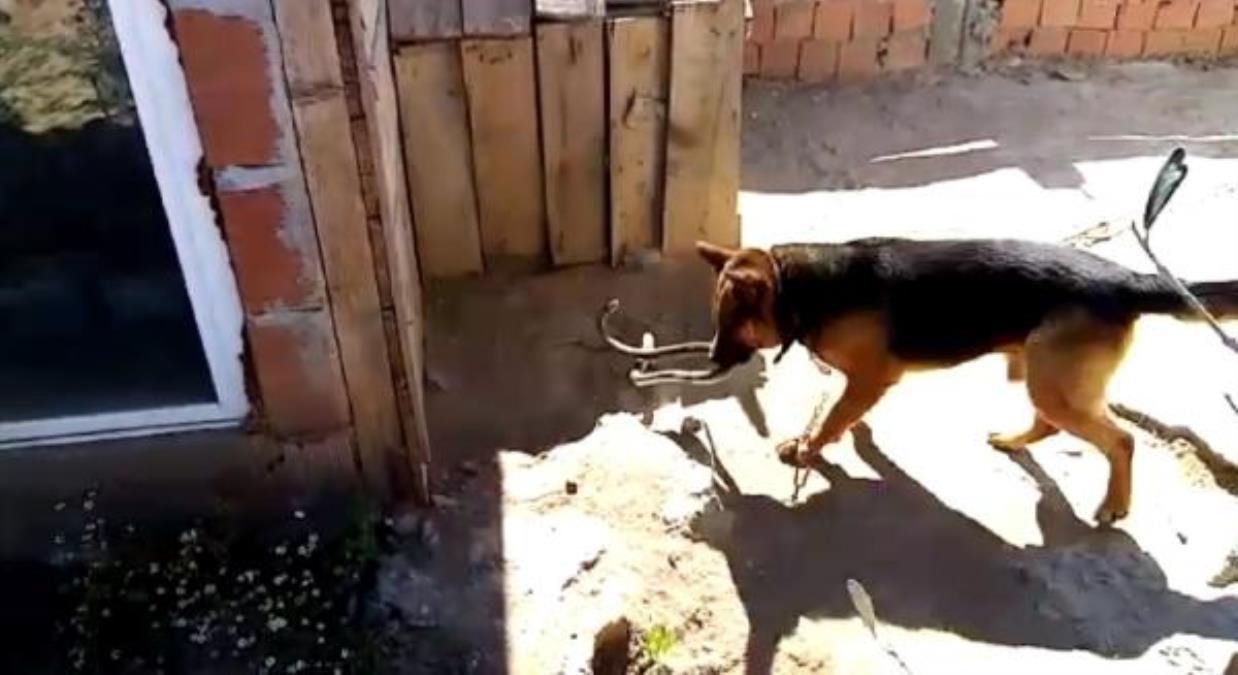 Kurt köpeği ile eve girmeye çalışan 2 metrelik yılanın ölümüne kavgası kamerada