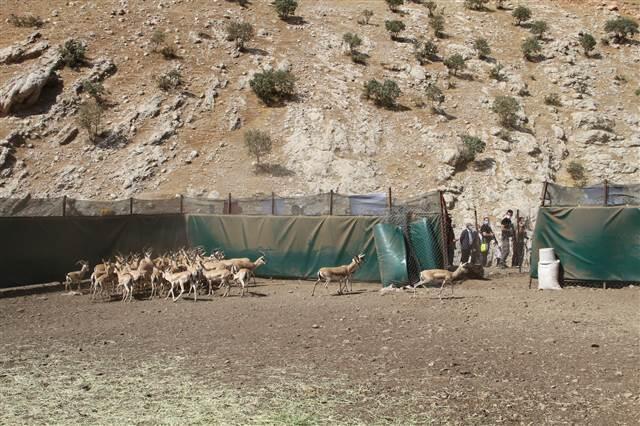 Şırnak'ta Cudi Dağı'na 50 ceylan bırakıldı