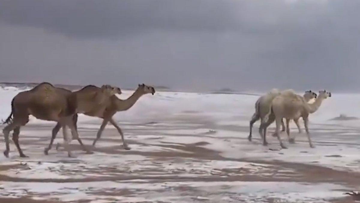 Suudi Arabistan'da karda yürüyen develer