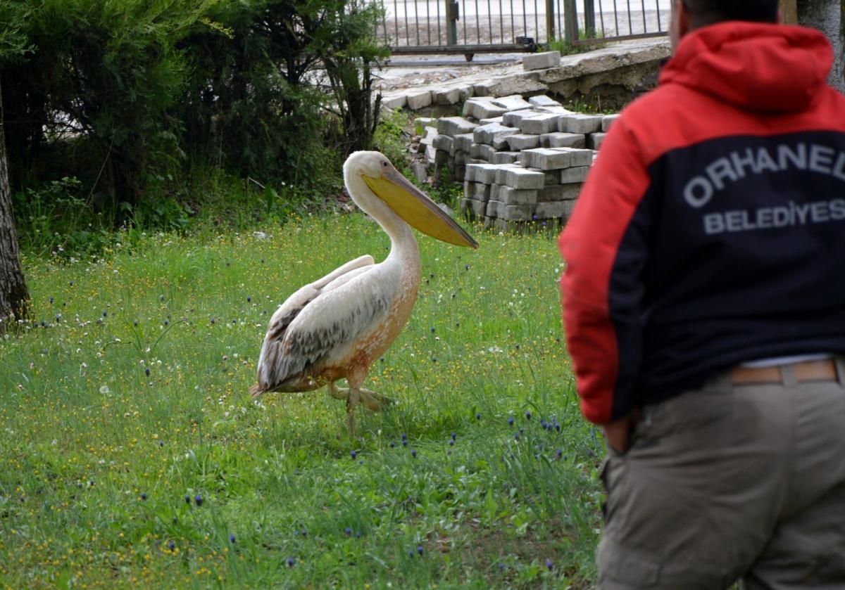 Tarlasında sulama yapan muhtar, gelen sesler üzerine baktığı havuzunda yaralı pelikanla karşılaştı