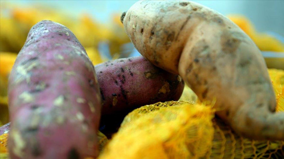 Tokat'ta tatlı patates üretimi artıyor