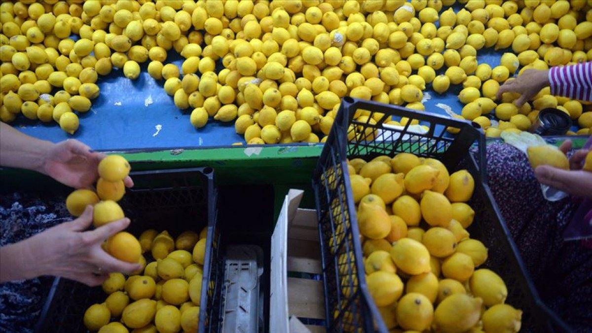 Yeni sezon turunçgil ihracatında limon ön sırada